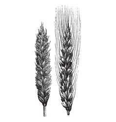 Winter wheat wheat vintage engraving vector