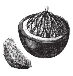 Brazil nut vintage engraving vector
