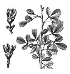 Myrrh vintage engraving vector
