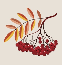 Mountain ash berries vector