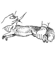 Veterinar injecting an animal vector