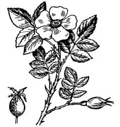 Dog rose flower vector