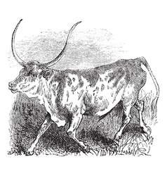 Brazilian cow vintage engraving vector