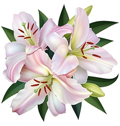 White lily vector