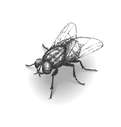 Fly sketch vector