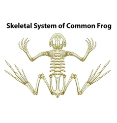 Skeletal system of a common frog vector