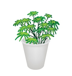 Evergreen plant in a flower pot vector