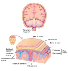 Human brain layer anatomy vector