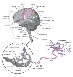 Brain detail with neurons vector