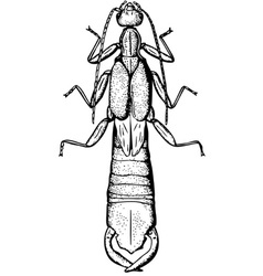European earwig vector