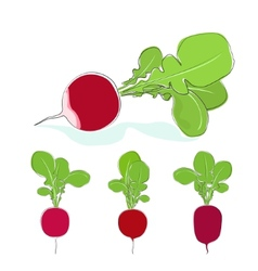 Radish vegetable with leaves on a white background vector
