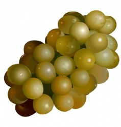 Green grape vector