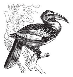 Hornbill bird vintage engraving vector