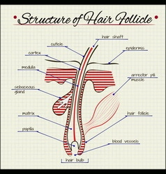 Structure of human hair vector