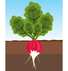 Vegetable radish in land vector