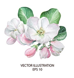 Apple blossom flowers vector