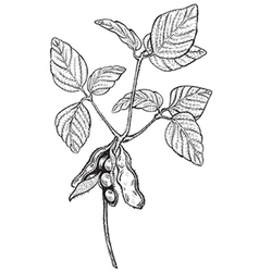 Soy twig engraving style drawing vector