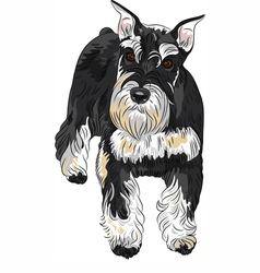 Dog breed miniature schnauzer black and silver vector