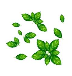 Set of thai basil leaves on white background vector