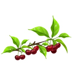 Realistic branch with ripe cherry vector