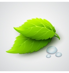 Green leaves and dew drops vector