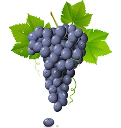 Vineyard grapes vector