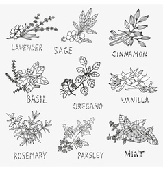 Culinary herbs vector