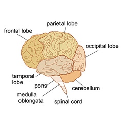 Brain sections vector