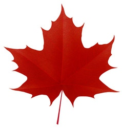 Realistic red maple leaf vector