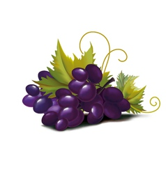 Grapes violet vector