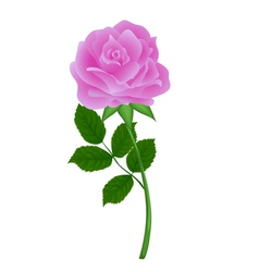 Nature pink flower rose with isolation on a white vector