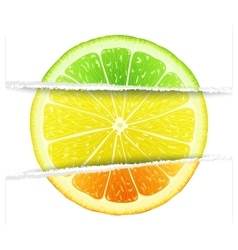 Triple citrus fruit vector