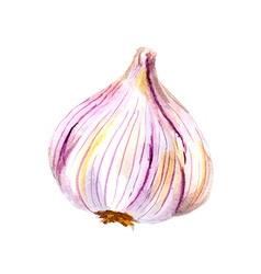 Realistic watercolor garlic isolated vector