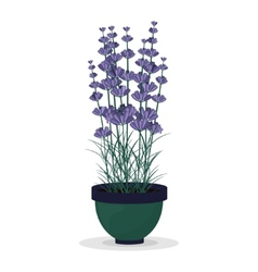 Lavender in a pot isolated on white background vector