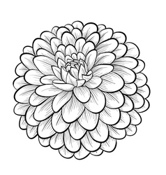 Black and white dahlia flower isolated vector