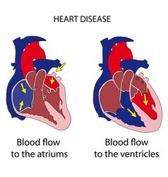 Heart cross section vector