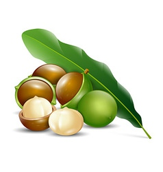 Macadamia nuts white background natural organic vector