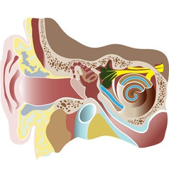 Human ear section vector