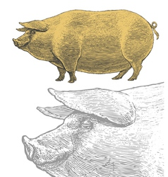 Pig or swine in vintage engraved style vector