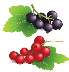 Clasters of black and red currants vector