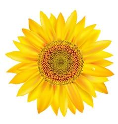 Sunflower petals vector