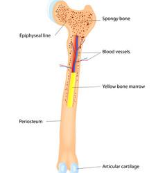 Bone anatomy scheme vector