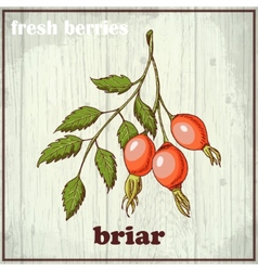 Hand drawing of briar fresh berries vector