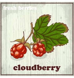 Hand drawing of cloudberry fresh vector