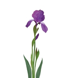 Flower iris vector