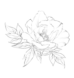 Ink painting of peony isolated on white vector