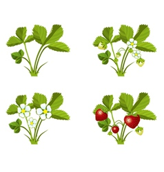 Strawberry growth phases vector