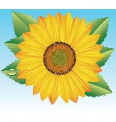 Sunflower with drop of water vector
