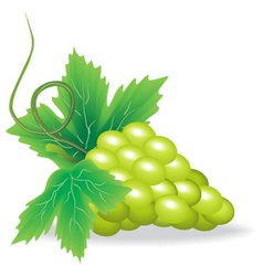 Branch of green grape vector
