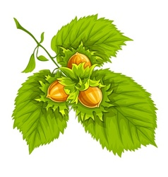 Hazelnuts on green leaves vector